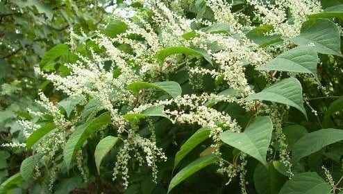 Spotting Japanese Knotweed and dealing with it